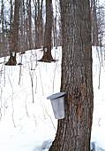 Collecting maple tree sap