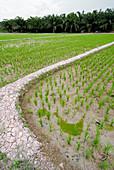 Rice paddy field,Malaysia