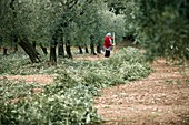Worker in an olive grove