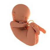 Full-term foetus,artwork