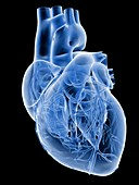 Heart with coronary vessels,artwork