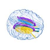 Brain anatomy,artwork