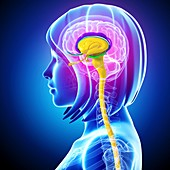Female brain,artwork