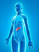 Healthy pancreas,artwork