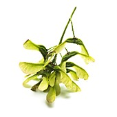 Sycamore Acer pseudoplatanus seeds
