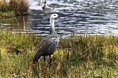 Upland Goose,Bahia Lapataia park