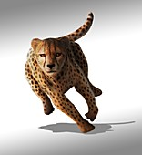 Cheetah,artwork