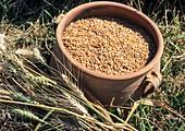 Wheat grain in clay jar