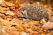 Southern white-breasted hedgehog