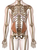 Human abdominal muscles,illustration