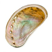 White coloured abalone shell