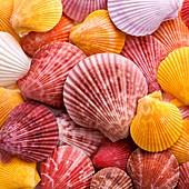 Colourful scallop shells