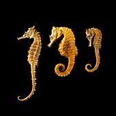 Three seahorses against black background