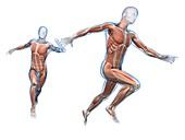 Muscular system of runners,Illustration