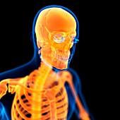 Human skull,illustration