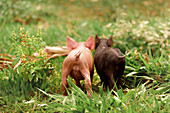 Two piglets in the grass,rear view