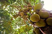 Jackfruit tree with fruit growing