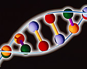Computer representation of DNA with base pairs