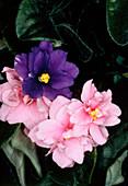 Flower of Saintpaulia ionantha - African violet