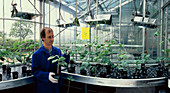 AIDS plant vaccine: cowpea plants in greenhouse