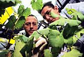 Grape vine DNA research