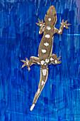 Gecko locomotion study