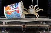 Crab locomotion research