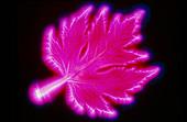 Kirlian photo of a maple leaf