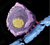 Simian immunodeficiency virus (SIV)