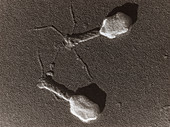 TEM of T4 bacteriophage