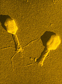 TEM T4 bacteriophage