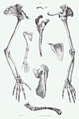 Arm bones