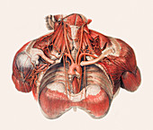 Blood vessels of chest and neck