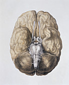 Base of the brain
