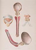 Urinary anatomy