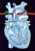 Electrical conduction in the heart,artwork