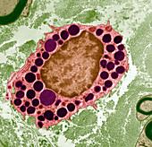 Basophil white blood cell,TEM