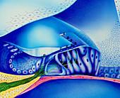 Artwork of organ of corti in cochlea of human ear