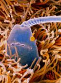 F. colour SEM of sperm being capacitated in uterus