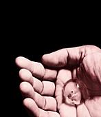Hand holding foetus