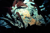 Tube worms on a deep hydrothermal vent
