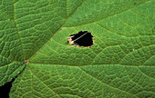 Tree cricket in leaf hole