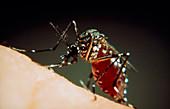 Macrophoto of female yellow fever mosquito