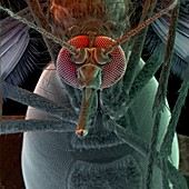 Colour SEM of head of the mosquito,Aedes aegypti