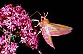 Sphinx moth,Deilephila,nectar-feeding on flower