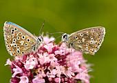 Male adonis blue butterflies
