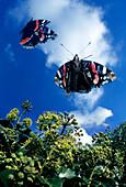 Red admiral butterflies in flight