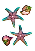 Starfish and marine molluscs