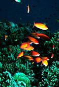 Redfin anthias fish
