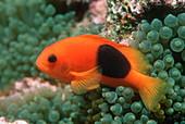 Saddle anemonefish